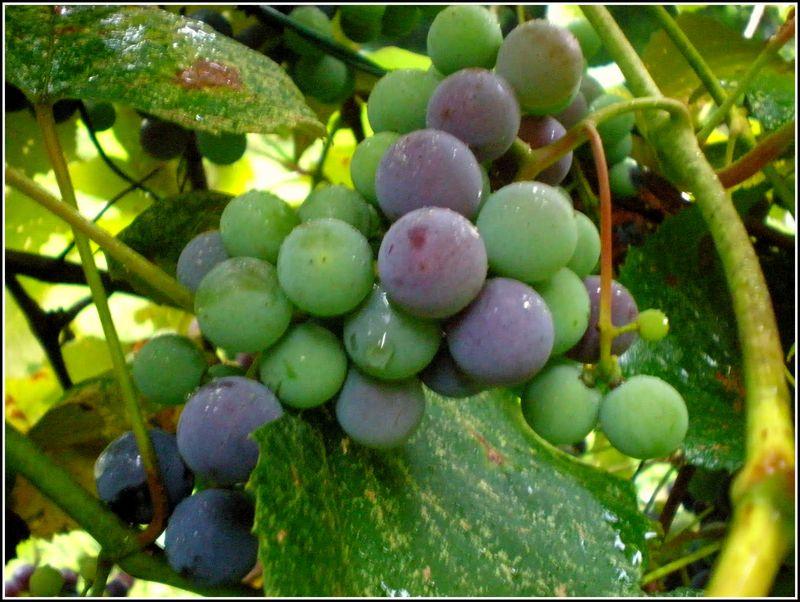 Grapes Edit